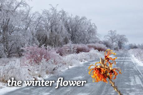 the winter flower